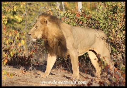 Beautiful male patrolling his territory at Red Rocks
