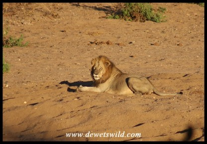 Big male lion in the bed of the Mphongolo River