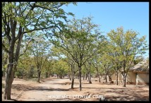 Mopane trees line a road through Shingwedzi