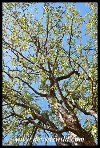 Mopane tree