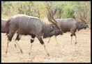 Stately Nyala bulls