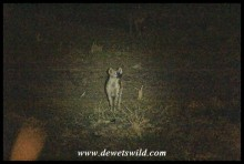 Spotted Hyena seen at night right from Shingwedzi's fence