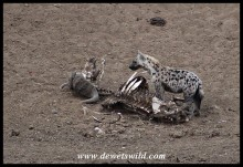 Spotted Hyena scavenging from a buffalo carcass in the Mphongolo River