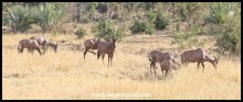Tsessebe herd grazing on the plains north of Shingwedzi