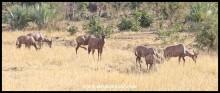 Tsessebe herd grazing on the plains north of Shingwedzi