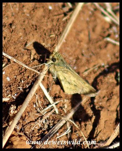 Common Hottentot Skipper (female)