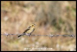Yellow Bishop (non-breeding plumage)