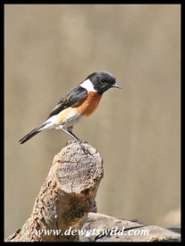 African Stonechat (photo by Joubert)