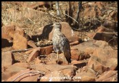 Spotted Dikkop (Spotted Thick-knee)