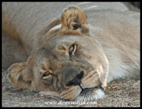 Lazy lioness (photo by Joubert)