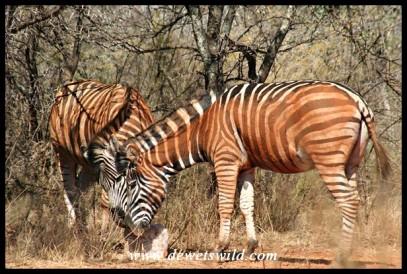 Two very dusty zebras (photo by Joubert)