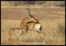 Red Hartebeest with an itch