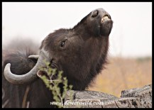Buffalo with an itch