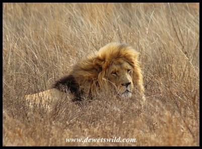 Lion Jarvis