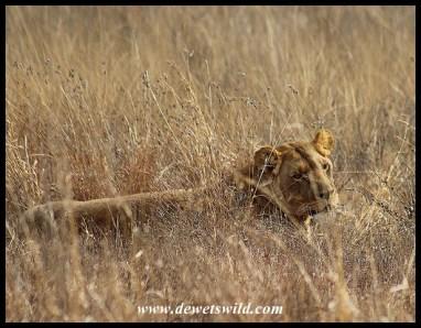 Lioness Bassie