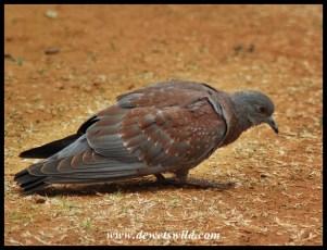 Speckled Pigeon fledgling