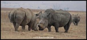 White Rhino discussion