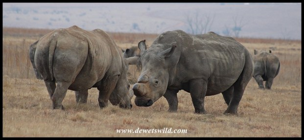 White Rhino discussion