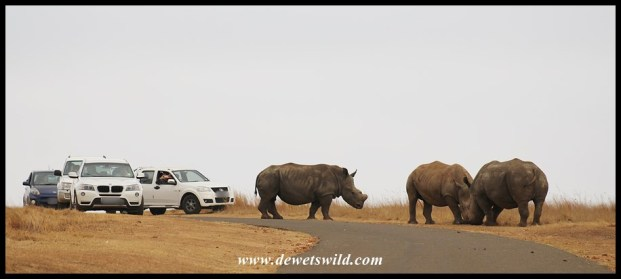 White Rhinos causing a traffic jam