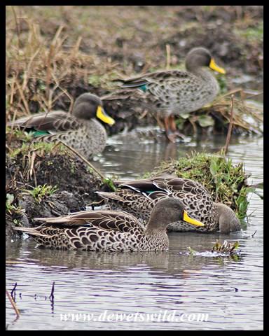 Yellow-billed Ducks