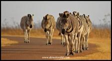 Plains Zebra on the move