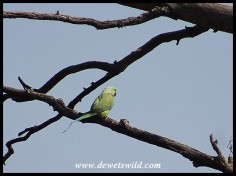 Rose-ringed Parakeet - these exotics seem to have become established in the reserve.