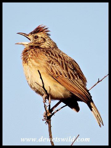 Rufous-naped Lark in full song