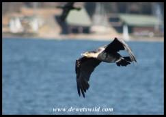 Reed Cormorant in flight