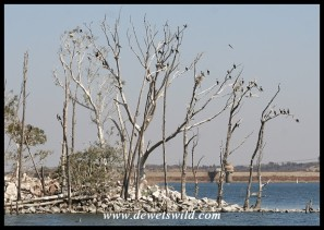 Cormorant colony at Rietvlei Dam (photo by Joubert)