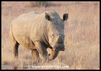 White Rhino Bull (horns humanely removed to deter poachers)