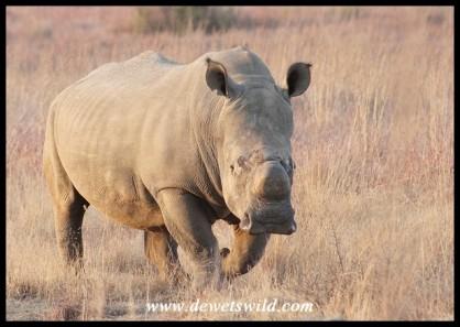 White Rhino Bull (horns humanely removed to deter poachers)