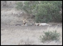 A pair of young lions waiting near Mac's Pan for passing herds