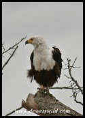 Fish Eagle (photo by Joubert)