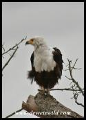 Fish Eagle (photo by Joubert)