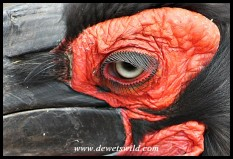 Southern Ground Hornbill close-up