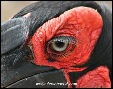 Ground Hornbill (photo by Joubert)