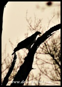 African Hawk Eagle in silhouette (photo by Joubert)