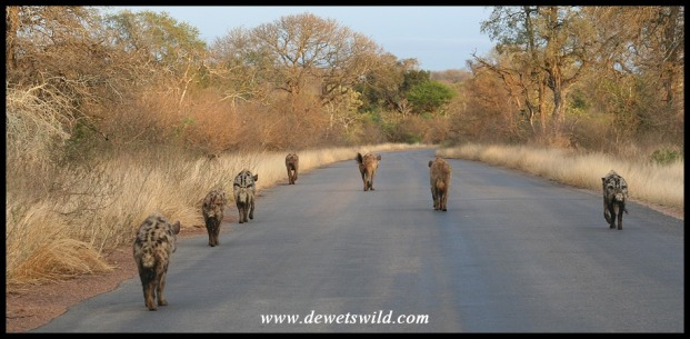 Spotted Hyena clan on the move (photo by Joubert)