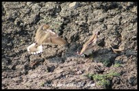 Three-banded Plovers in heated argument