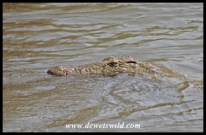 Nile Crocodile cruising up to a rapid in the Sabie River
