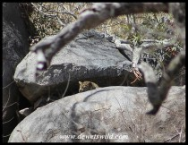 Leopard cub in a rocky outcrop between Tshokwane and Skukuza
