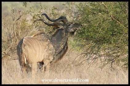 Graceful Kudu bull (photo by Joubert)
