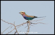 Lilac-breasted Roller (photo by Joubert)
