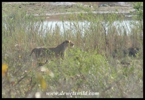 Lioness on a sand bank in the Sabie River (photo by Joubert)