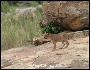 Lion cub at Lubyelubye (photo by Joubert)