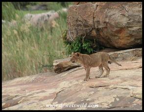 Lion cub at Lubyelubye (photo by Joubert)