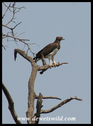 Martial Eagle (photo by Joubert)
