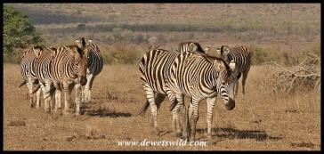 Plains Zebras (photo by Joubert)