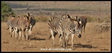 Plains Zebras (photo by Joubert)