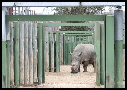 A white rhino at a rehab centre